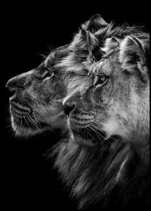Lion and lioness portrait Juliste