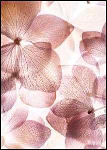 Orchid Juliste
