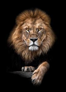 Focused Lion Color Juliste