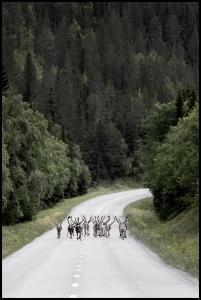 Reindeer road Juliste