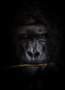 Mysterious gorilla Juliste