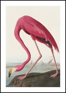 American Flamingo Juliste
