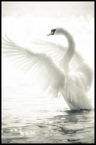Swan Juliste