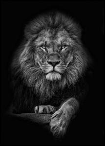 Focused lion Juliste