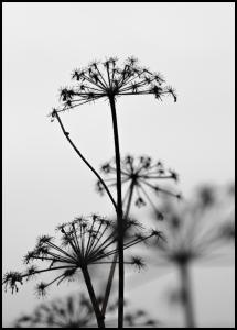 Black And White Flowers Juliste