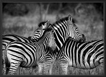Zebra group-hugs Juliste