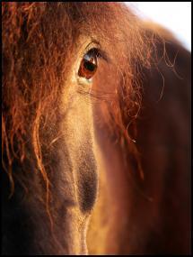 Horse sunset Juliste