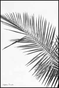 Black palm Juliste