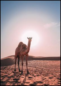 Camel Juliste