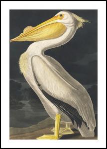 American White Pelican Juliste