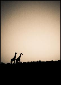 Giraffes Juliste