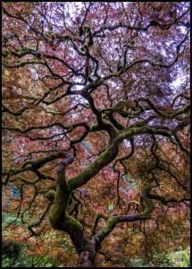 Japanese Maple Tree Juliste