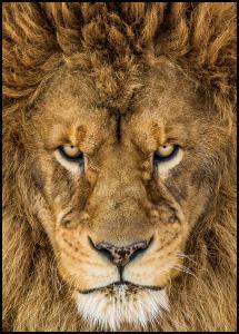 Serious Lion Juliste