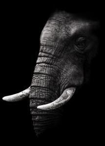 Portrait Elephant Juliste