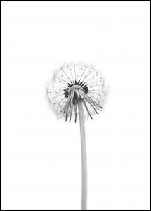 Dandelion Juliste