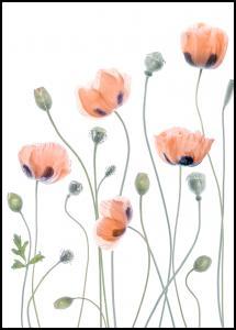 Poppies Juliste